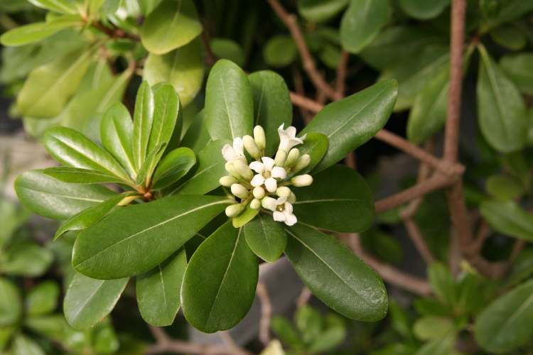 Pittosporum_tobira2